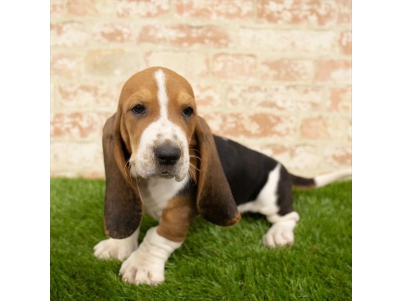 Basset Hound-DOG-Male-Black White / Tan-2760391-Petland Naperville