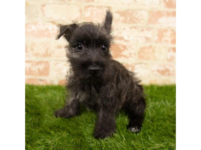 Cairn Terrier-DOG-Male-Wheaten-2760393-Petland Naperville