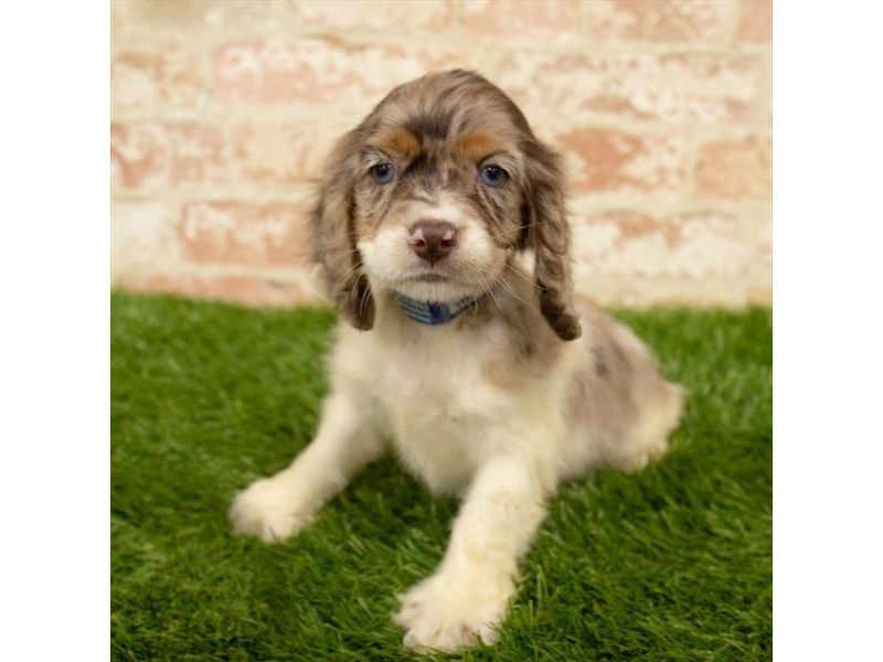 Cocker Spaniel-Female-Brown / White-2760394-Petland Naperville