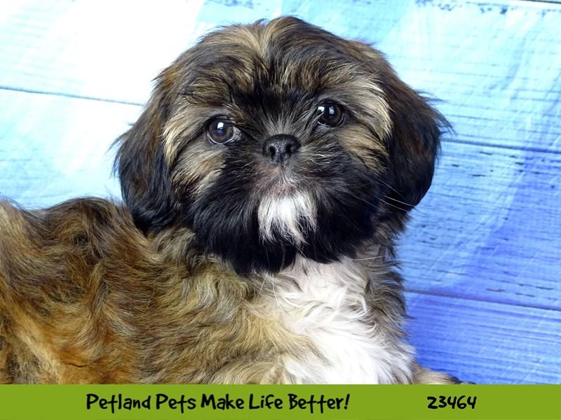Shih Tzu-DOG-Female-Golden-2760373-Petland Naperville