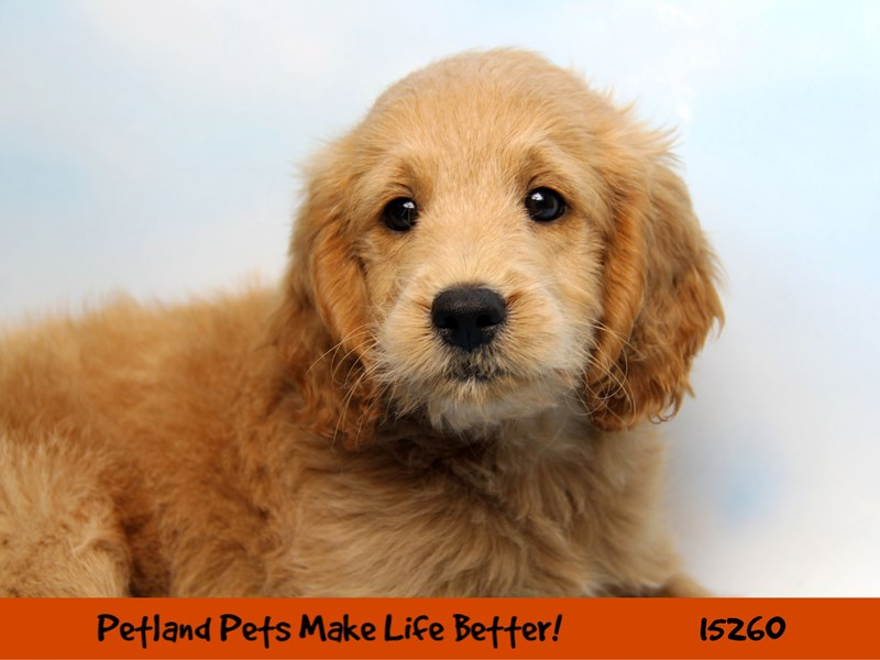 Mini Goldendoodle-Male-Golden-2765822-Petland Naperville