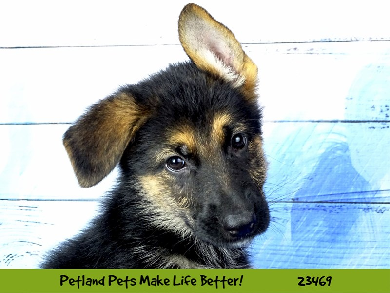 German Shepherd-Female-Black and Tan-2765753-Petland Naperville