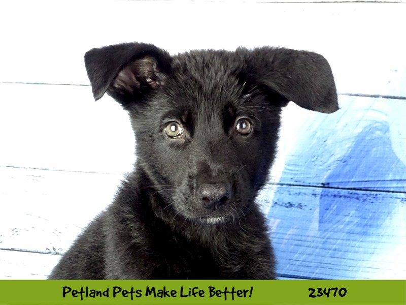 German Shepherd-Male-Black-2765789-Petland Naperville