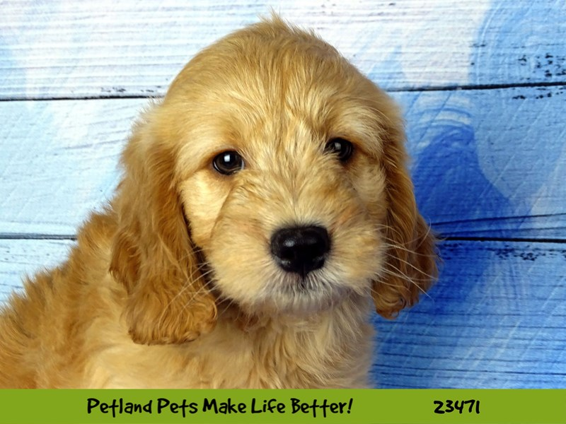 Mini Goldendoodle-Male-Golden-2765814-Petland Naperville
