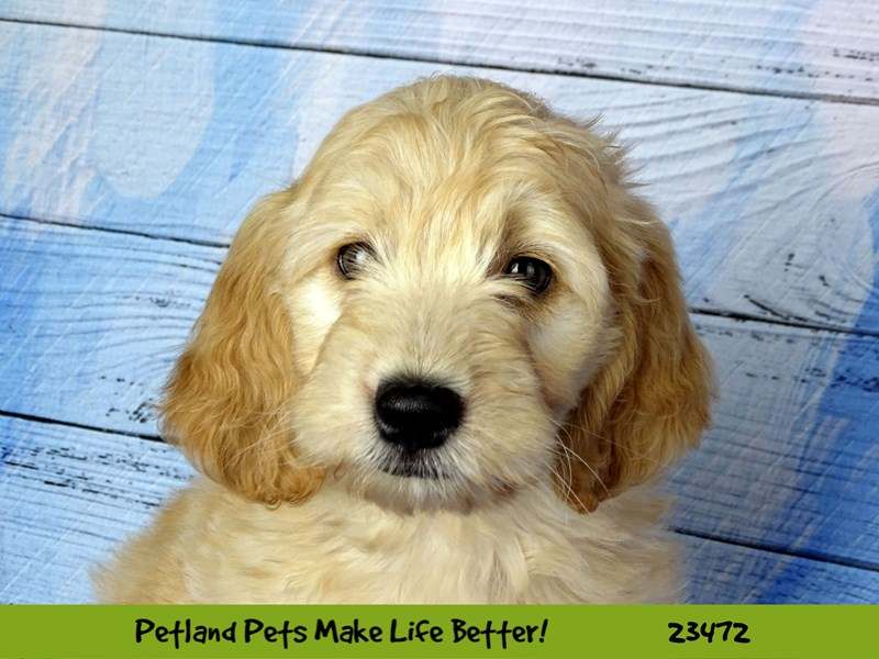 Mini Goldendoodle-Female-Light Golden-2765815-Petland Naperville