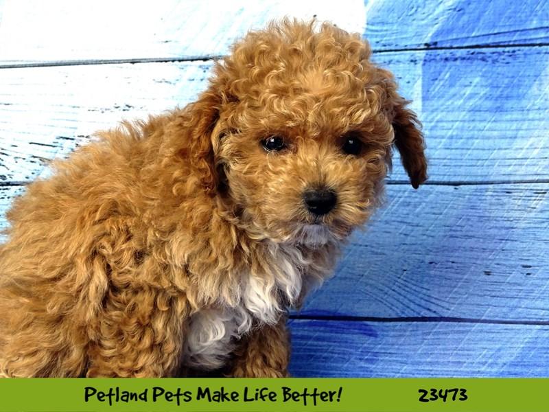 Poodle-Female-Apricot-2765877-Petland Naperville
