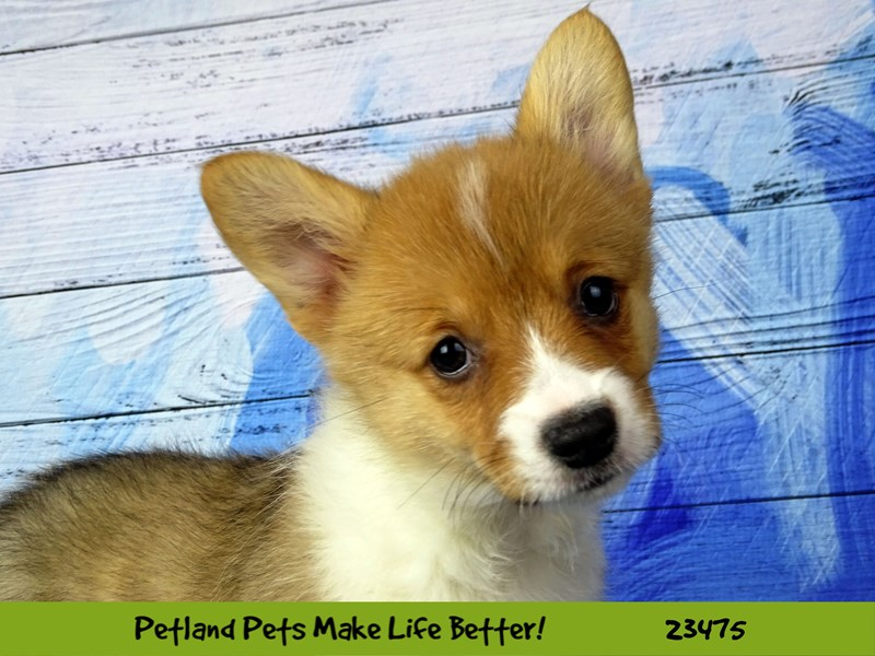 Pembroke Welsh Corgi-Female-Sable and White-2765956-Petland Naperville