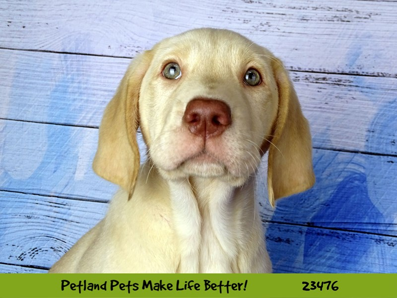 Labrador Retriever-Female-Yellow-2765986-Petland Naperville
