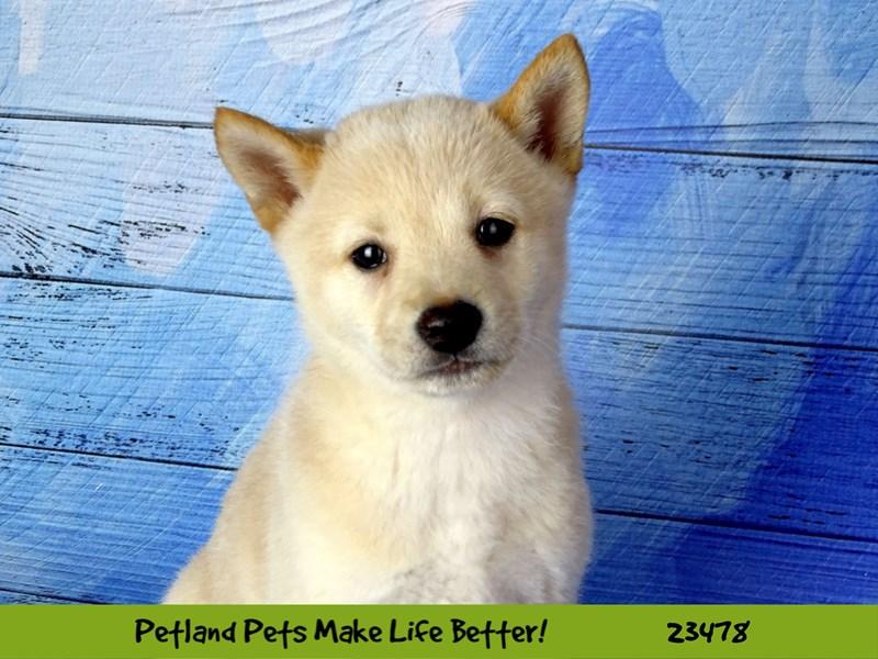 Shiba Inu-DOG-Female-Cream-2766003-Petland Aurora