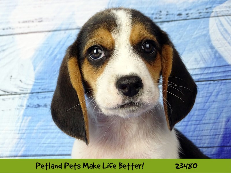 Beagle-Male-Tri-Colored-2765893-Petland Naperville