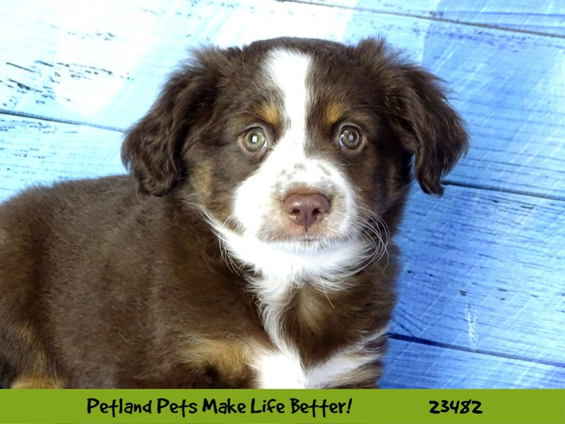 Miniature American Shepherd-DOG-Female-Red Tan / White-2765890-Petland Aurora