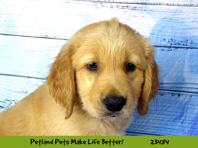 Golden Retriever-DOG-Male-Golden-2765891-Petland Naperville
