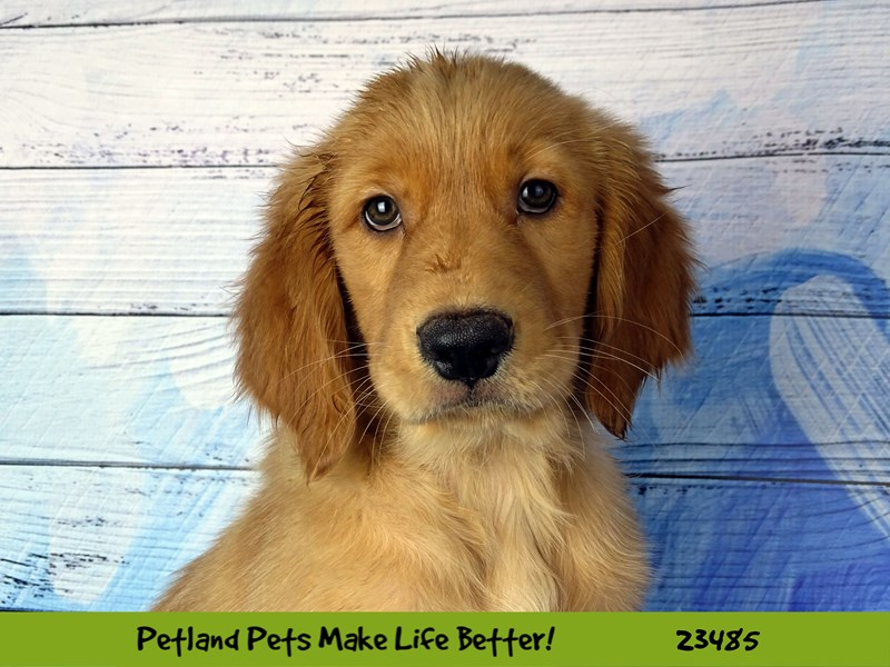 Golden Retriever-Female-Golden-2765897-Petland Naperville