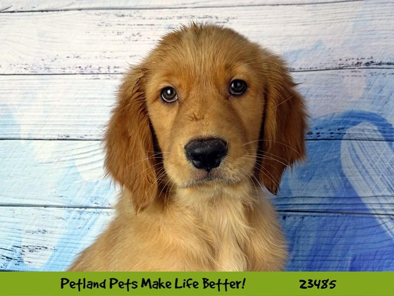 Golden Retriever-DOG-Female-Golden-2765897-Petland Aurora