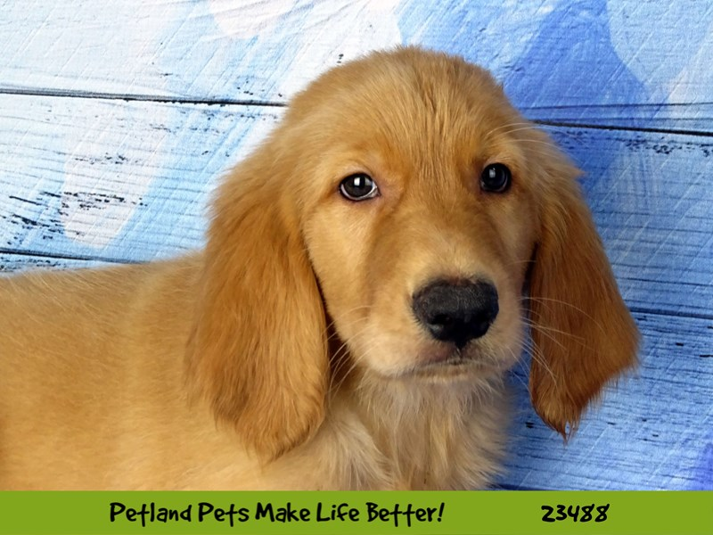 Golden Retriever-Male-Golden-2765898-Petland Naperville