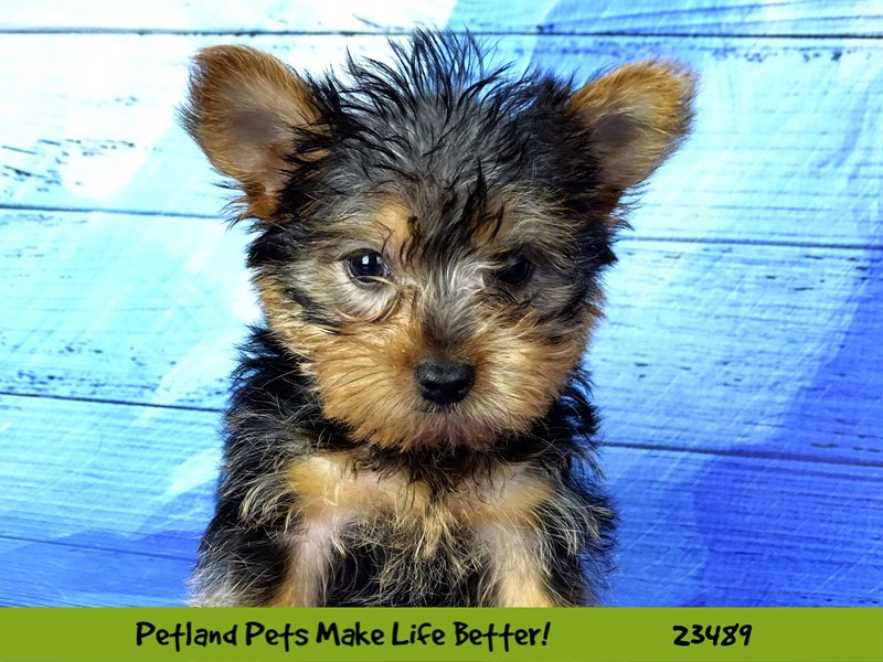 Yorkshire Terrier-Male-Black / Tan-2765894-Petland Naperville