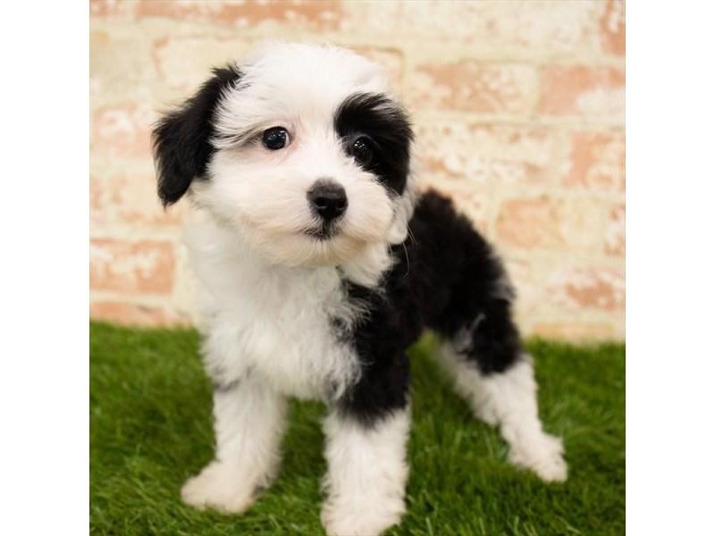 Chinese Crested-DOG-Female-Black / White-2767729-Petland Aurora