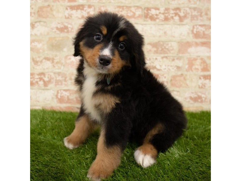 Bernese Mountain Dog-Male-Tri-Colored-2767754-Petland Naperville