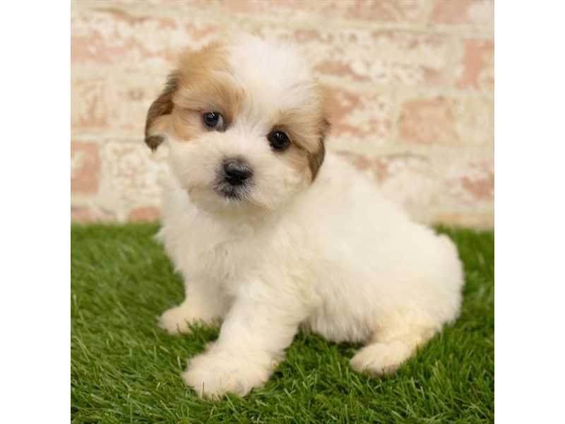 Teddy Bear-Female-Gold / White-2767756-Petland Naperville