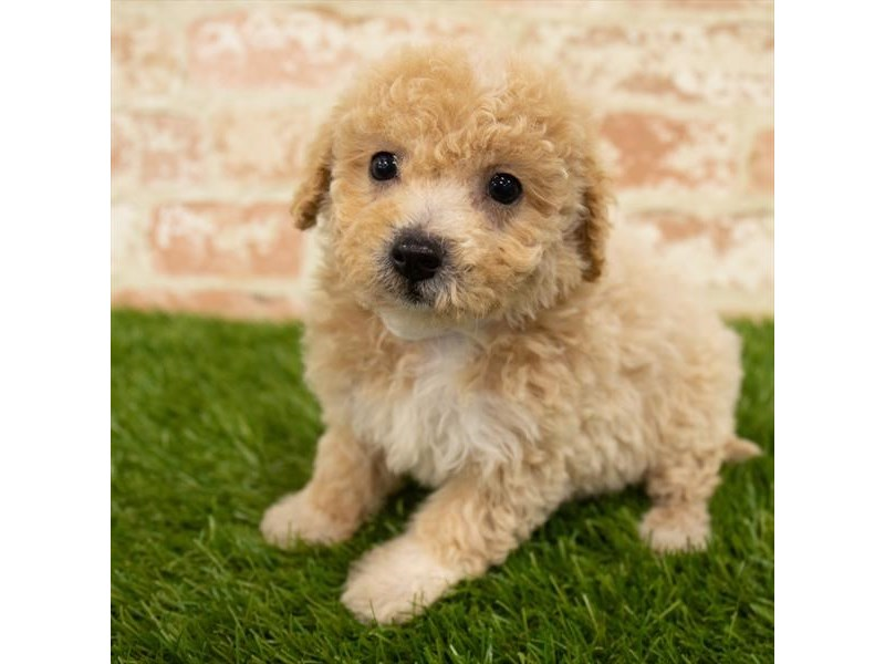 Maltipoo-Female-Cream-2767758-Petland Aurora