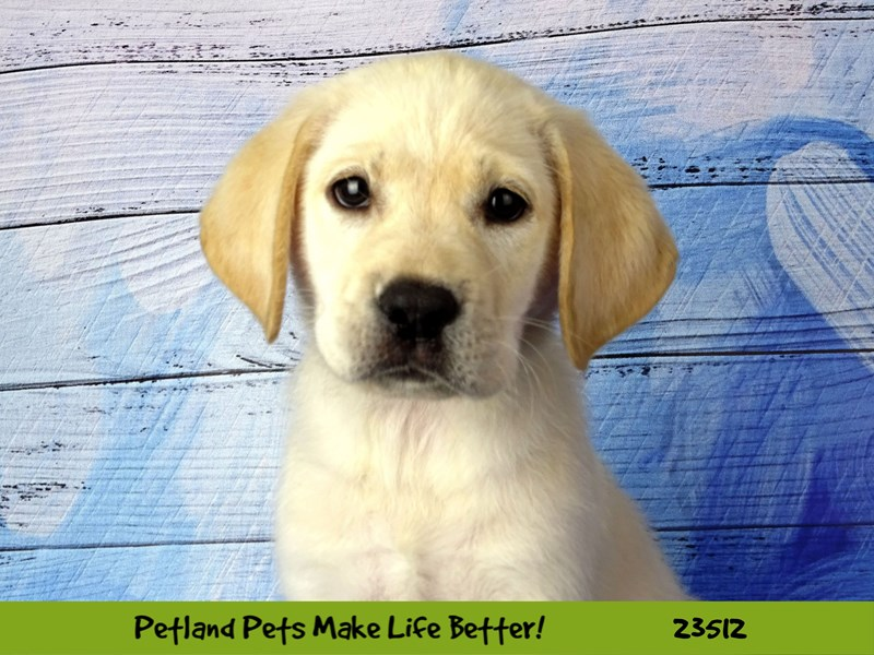 Labrador Retriever-Female-Yellow-2767778-Petland Naperville
