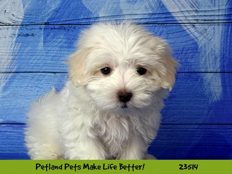 Maltese-DOG-Male-White-2768086-Petland Aurora