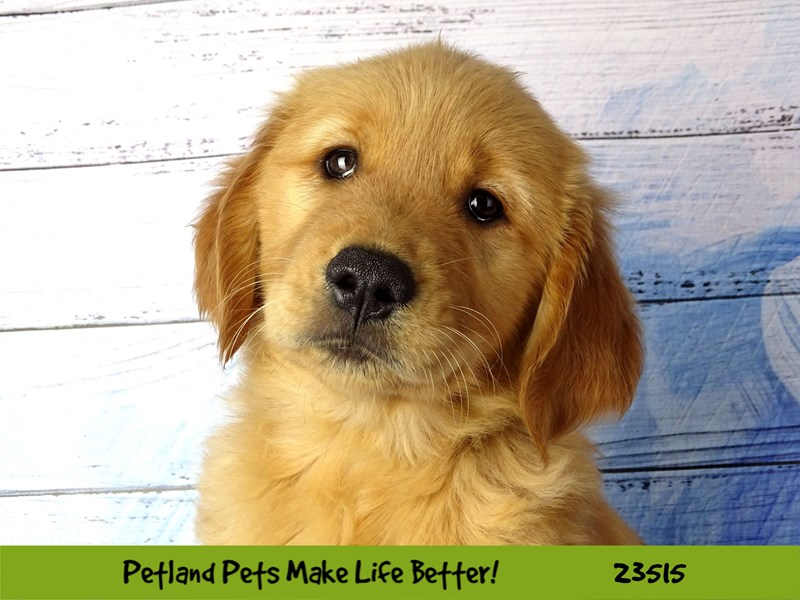 Golden Retriever-Female-Golden-2773555-Petland Naperville