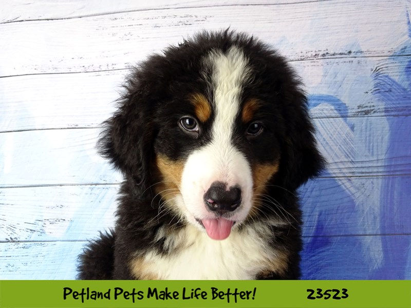 Bernese Mountain Dog-Male-Black Tan / White-2773554-Petland Naperville