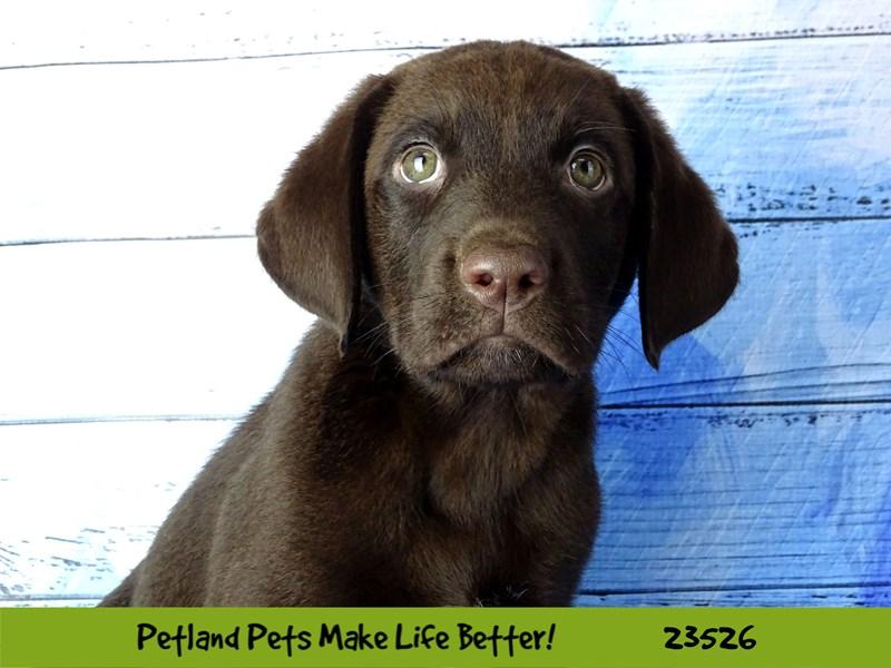 Labrador Retriever-Male-Chocolate-2773625-Petland Naperville