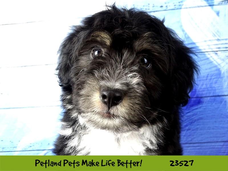 Mini Aussiedoodle-Male-Black Tri-2773687-Petland Naperville
