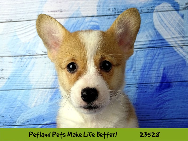 Pembroke Welsh Corgi-Male-Red and White-2773834-Petland Naperville