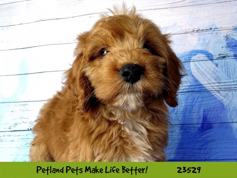 2nd Generation Mini Goldendoodle-DOG-Male-Red-2773864-Petland Naperville