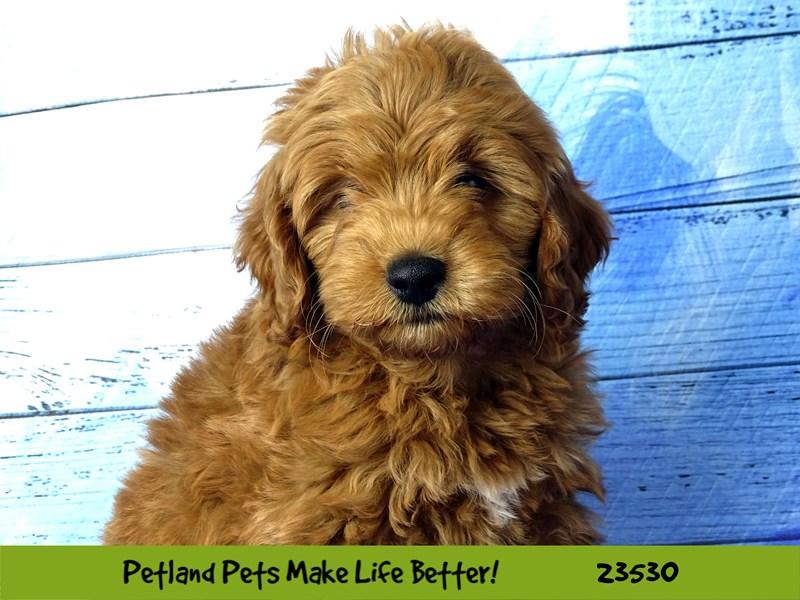 2nd Generation Mini Goldendoodle-DOG-Female-Red-2773916-Petland Naperville