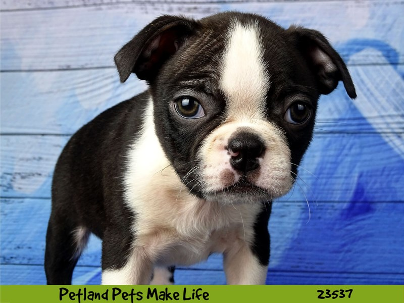 Boston Terrier-Female-Black / White-2781511-Petland Naperville