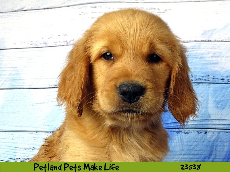 Golden Retriever-Male-Golden-2781518-Petland Naperville