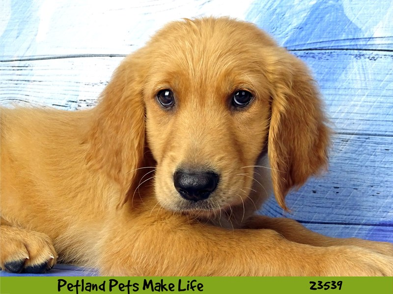 Golden Retriever-DOG-Male-Golden-2781517-Petland Naperville