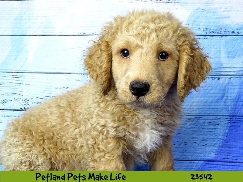 Poodle Mini/Goldendoodle-DOG-Male-Cream-2781521-Petland Naperville