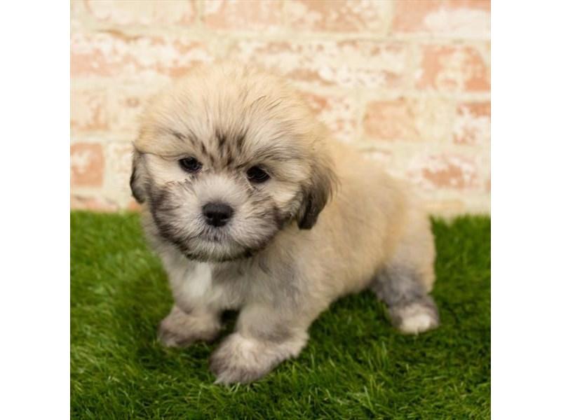 Lhasa Apso-DOG-Female-Golden-2783465-Petland Aurora