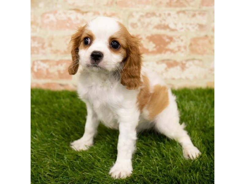 Cavalier King Charles Spaniel-DOG-Female-Blenheim-2783466-Petland Aurora