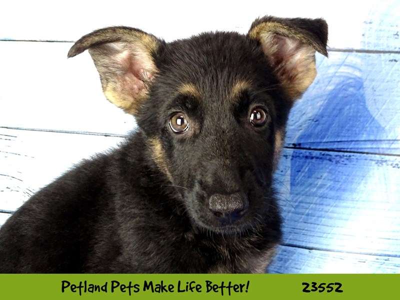 German Shepherd Dog-Female-Black / Tan-2788598-Petland Naperville
