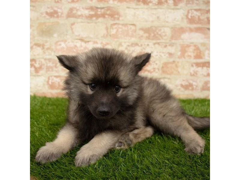 Keeshond-DOG-Male-Silver Sable-2745299-Petland Naperville