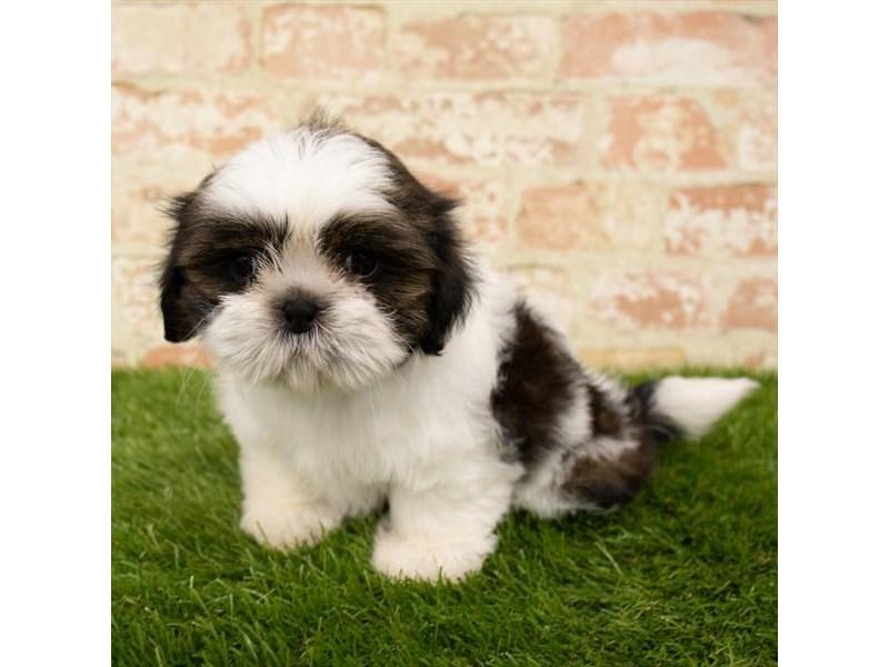Shih Tzu-DOG-Female-Brindle / White-2745392-Petland Aurora