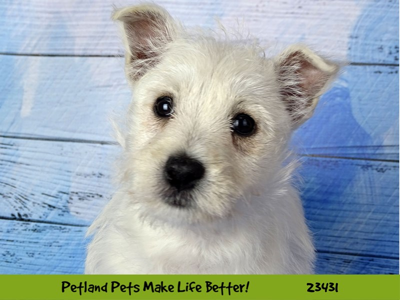 West Highland White Terrier-Female-White-2752218-Petland Naperville