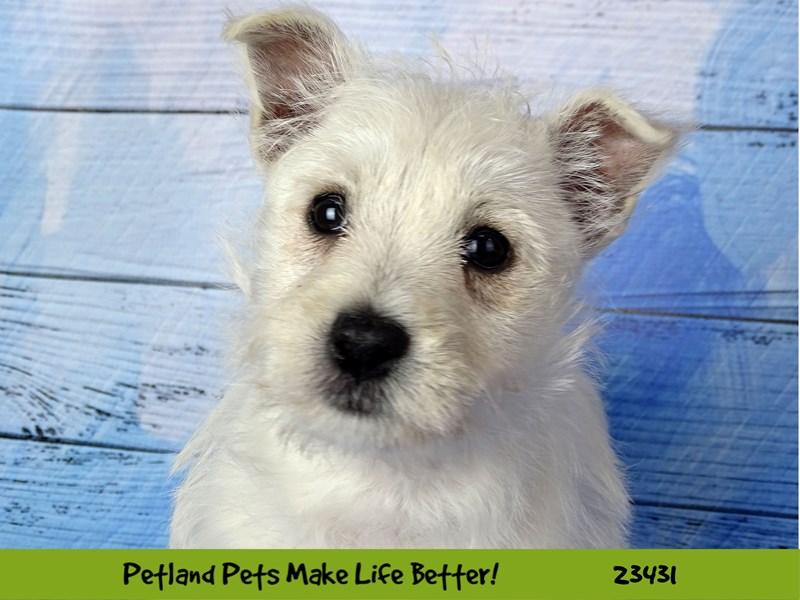 West Highland White Terrier-Female-White-2752218-Petland Aurora