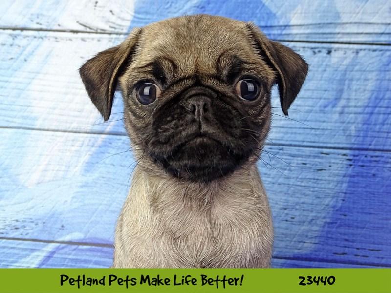 Pug-Female-Fawn-2758334-Petland Naperville