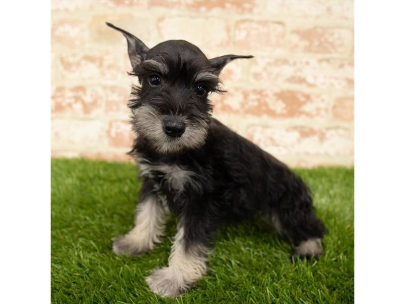 Miniature Schnauzer-DOG-Female-Black / Silver-2767737-Petland Naperville