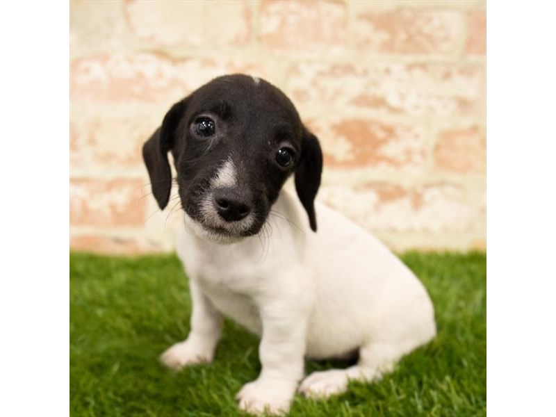 Jack Russell Terrier-DOG-Male-Black / White-2767742-Petland Naperville