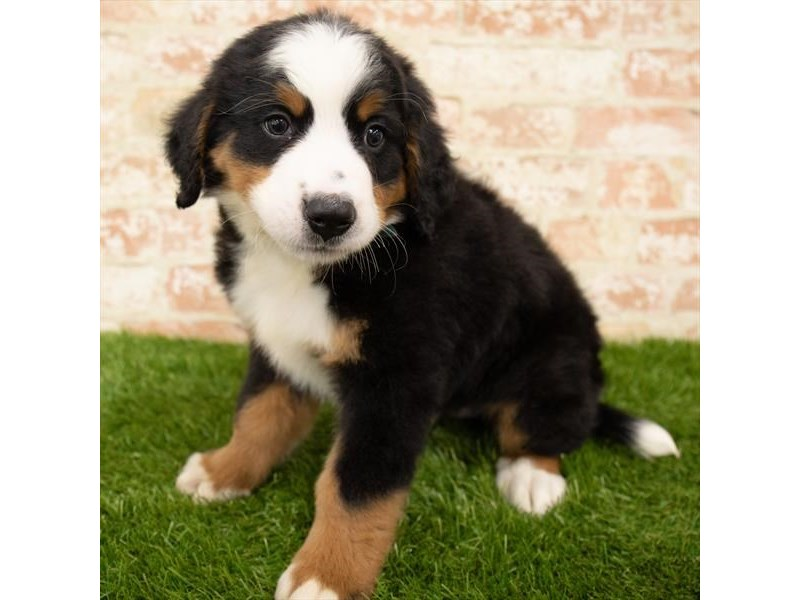 Bernese Mountain Dog-Male-Tri-Colored-2767755-Petland Naperville
