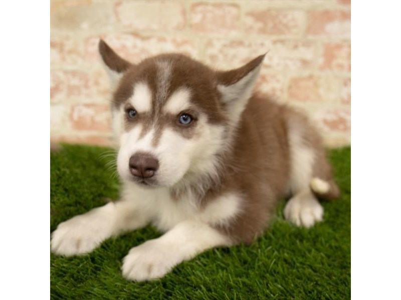 Siberian Husky-DOG-Male-Red / White-2767781-Petland Naperville