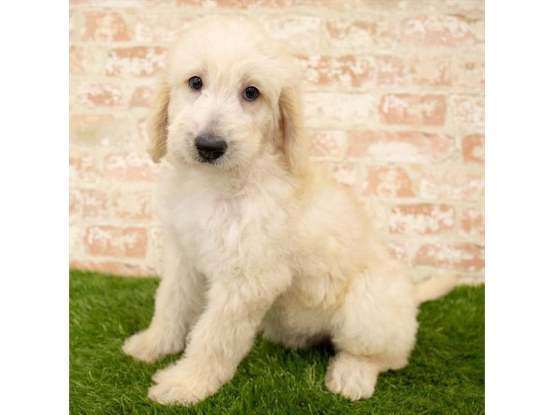 Labradoodle-Male-Yellow-2767788-Petland Naperville